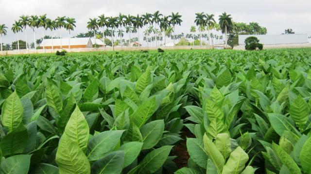 Aquellas palmeras del fondo pertenecen a la finca perla una de la más importante en la producción tabacalera sanjuanera