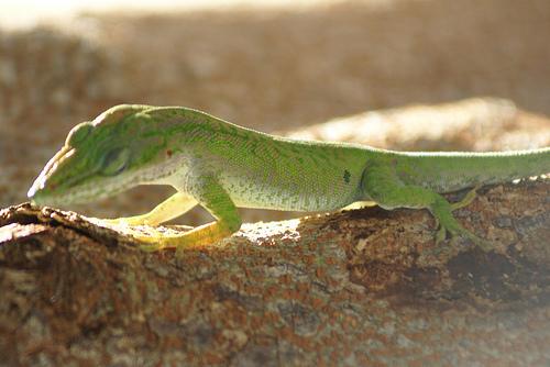 Pancho, el lagartijo, vivió mucho tiempo en mi casa