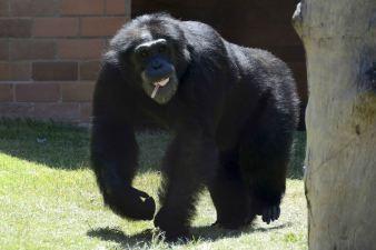 chimpancé refescando al calor