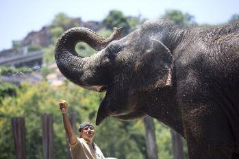 la elefanta disfruta comiendo plátanos maduros