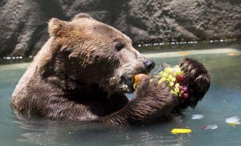 Entre el baño y las frutas, la osa disfruta del día