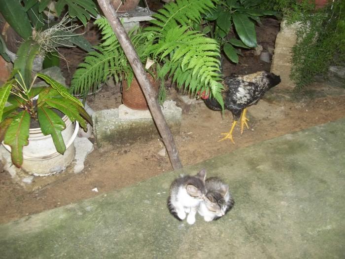 Pollos y gatos conviven juntos
