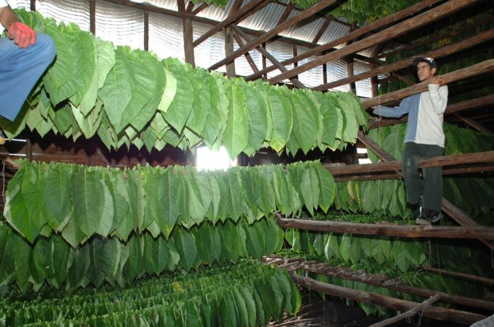 El tabaco de Maximito tiene gran calidad, eso prestigia a San Juan y Martínez