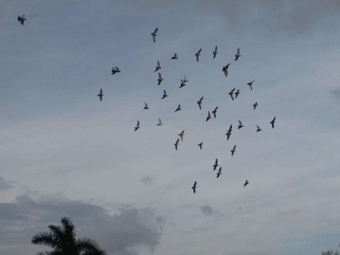 Pinar del Río. Vuelan las palomas