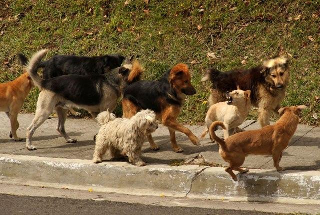 Sería beneficio hacer la esterilización de las perras y así se evitan los perros vagabundos